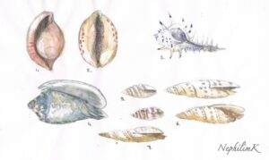 coquillage-dessin-shell-sketch-NephilimK